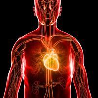 srce, krvozilni sustav