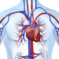 srce-krvozilni-sustav-2