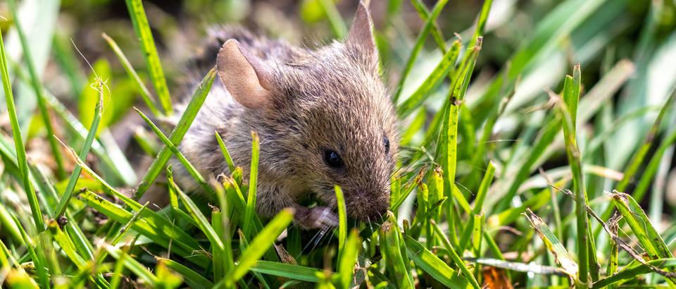 Mišja groznica