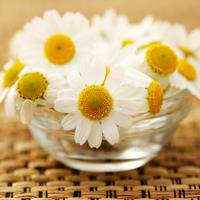 kamilica-caj-biljka-cvijet4