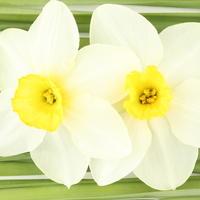 Narcise, cvijece