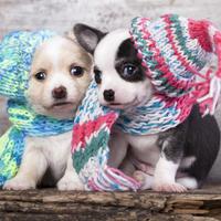 Shutterstock, pas, psi, kucni ljubimci, zima