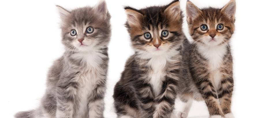 macka, kucni ljubimci, shutterstock