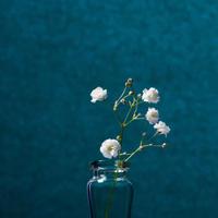 Gypsophila Paniculata, bijeli cvijet