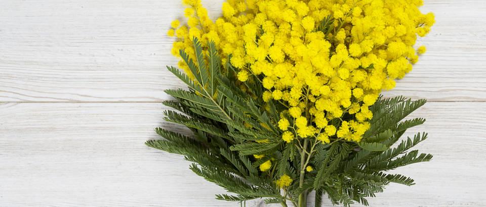 mimoza, shutterstock