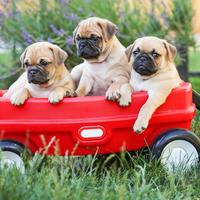Mops, kucni ljubimci, psi, shutterstock