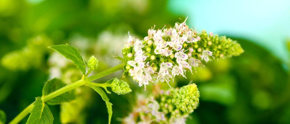 Menta metvica cvijet shutterstock 119723113